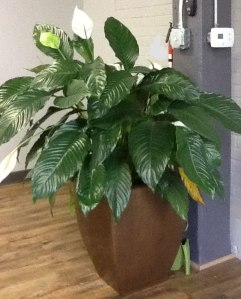 Reuben our office plant